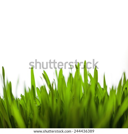 Close Up Of Green Fresh Young Wheat - stock photo