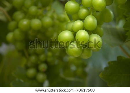 Close up of green grapes and vine - stock photo