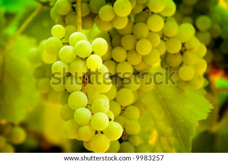Close-up of green grapes on grapevine in vineyard ,  Shallow DOF photo - stock photo