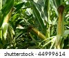 Close-up of green husked ear of corn in field - stock photo