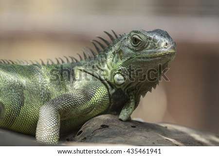 Close-up of green Iguana - stock photo