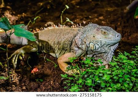 Close-up of green iguana (Iguana iguana) - stock photo