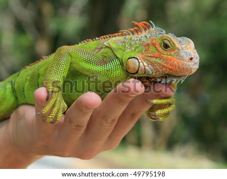 Close-up of green iguana seating on the human hand and green trees as a background