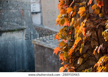 close up of green ivy growing on a building - stock photo