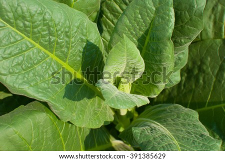 Close up of green leaf tobacco - stock photo