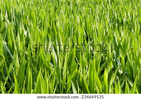 Close-up of green leaves of a corn field in early summer sunshine - stock photo
