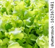 Close up of Green Oak salad leaves. - stock photo