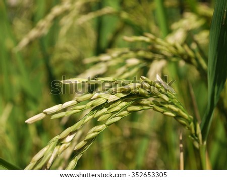 Close up of green paddy rice - stock photo