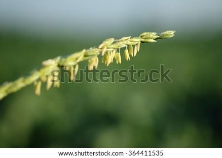 Close up of green paddy rice. Green ear of rice in paddy rice field under sunrise, Blur Paddy rice field in the morning background, Thailand - stock photo