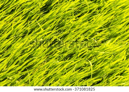 Close up of green paddy rice. Green ear of rice in paddy rice field under sunrise, Blur Paddy rice field in the morning background - stock photo
