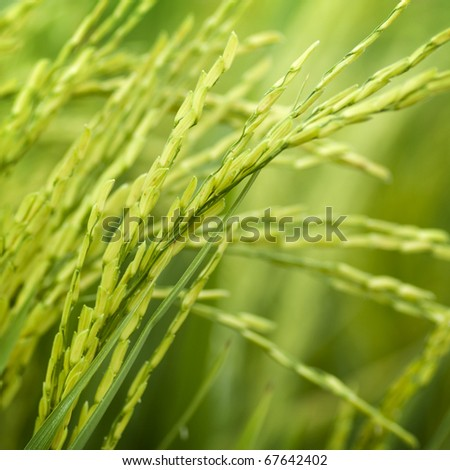 Close up of green paddy rice plant - stock photo