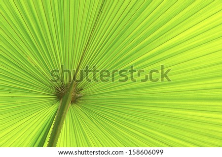 Close up of green palm leave (Livistona rotundifolia). - stock photo