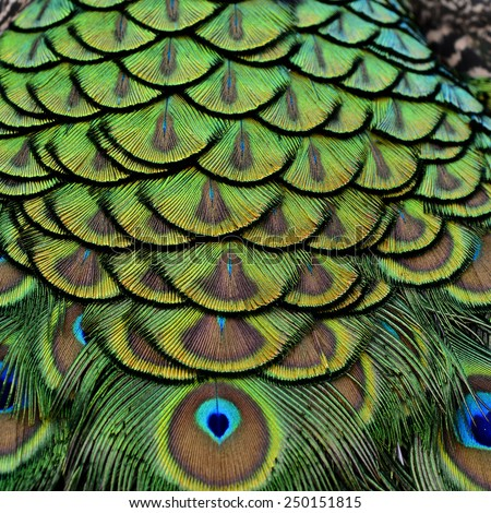 Close up of Green Peacock bird's feathers with sharp in details - stock photo