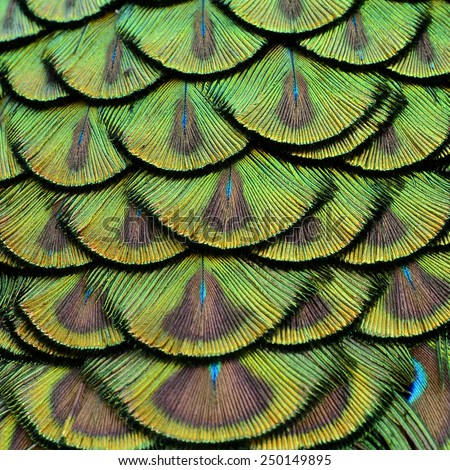 Close up of Green Peacock Feathers in the great background texture - stock photo
