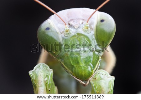 Close-up of green praying mantis isolated on black - stock photo