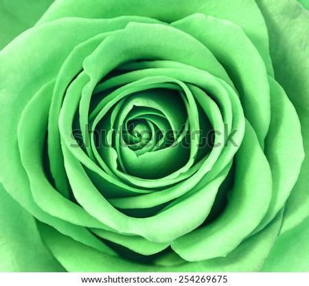 Close up of green rose petals. - stock photo
