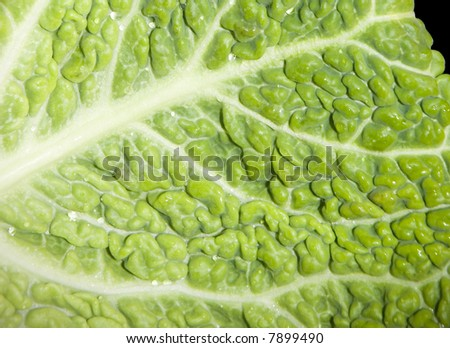 Close-up of green Savoy Cabbage crinkled leaves. - stock photo