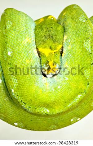 Close-up of Green tree python - stock photo