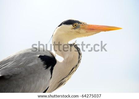 close up of grey heron - stock photo