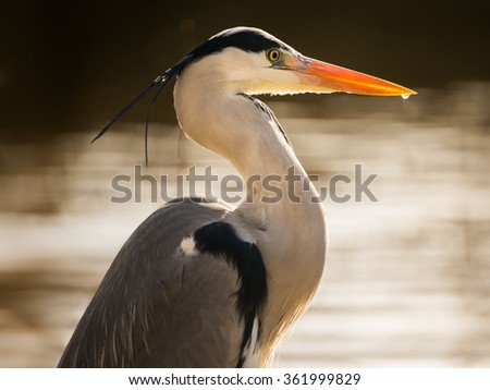 Close up of grey heron-Ardea cinerea
