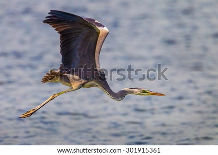Close up of Grey Heron (Ardea cinerea) flying with wings up in nature at Leam phakbia,Thailand - stock photo