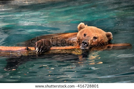 Close up of Grizzly bear shows it hanging on a log in a pool.  It's head hangs over and one large paw with sharp claws. - stock photo