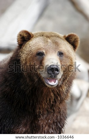 Close-up of Grizzly Bear smiling in large zoo, captive setting (shallow focus). - stock photo