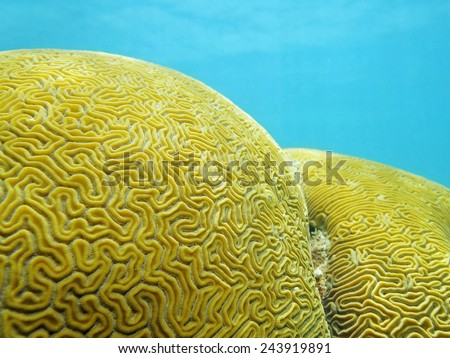 Close up of Grooved brain coral that looks like a labyrinth - stock photo