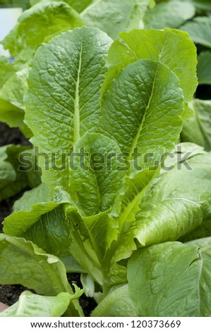 Close up of growing romaine lettuce - stock photo