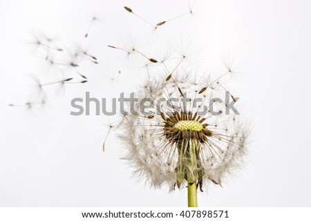 Close up of grown dandelion and dandelion seeds isolated on white background - stock photo