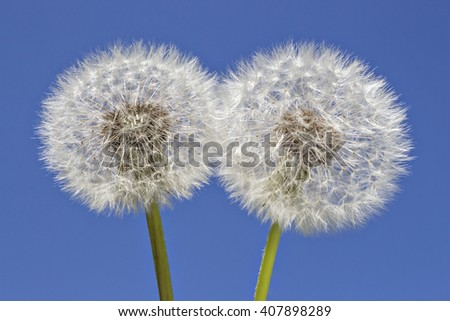 Close up of grown dandelions in the sunlight and a clear blue sky background - stock photo