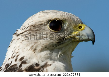 Close-up of gyrfalcon head against blue sky