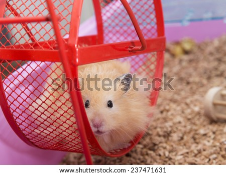 Close up of Hamster in Wheel - stock photo