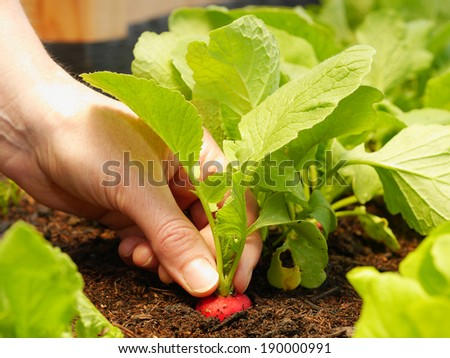 close up of hand harvesting a red radish - stock photo