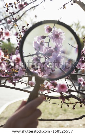 Close up of hand holding magnifying glass over cherry blossom - stock photo