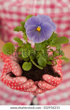 Close-up of hands about to plant violet - stock photo