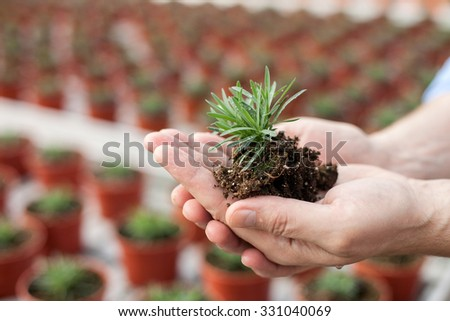 Close up of hands of male gardener holding plant with ground. The man is standing at greenhouse - stock photo