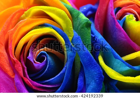 Close up of happy rose : frost rainbow flower with colored petals - stock photo