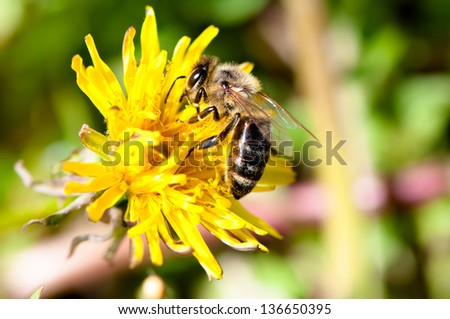 Close-up of hard working bee, collecting pollen from yellow flower