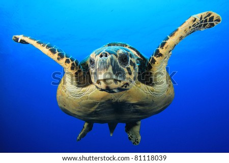 Close-up of Hawksbill Sea Turtle in blue water - stock photo