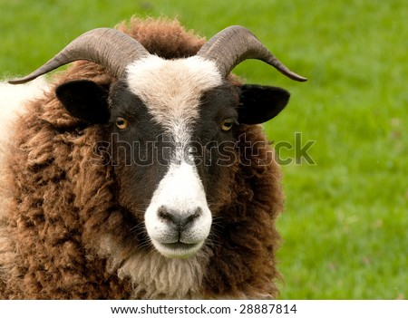 close-up of head and face of a Jacob Sheep - stock photo