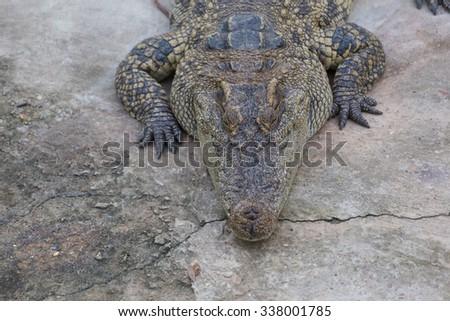 Close-up of Head crocodile, alligator in the park - stock photo