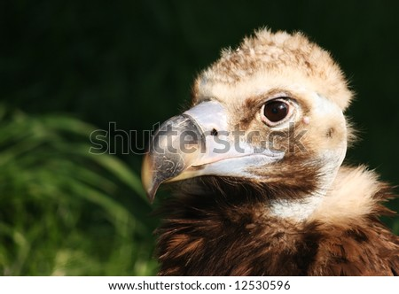 Close up of head of Eurasian Black Vulture (Monk Vulture, Cinereous Vulture), Aegypius monachus