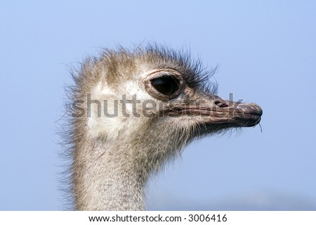 Close up of head of Ostrich (Struthio camelus) - landscape orientation - stock photo