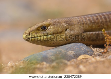 Close up of head of sheltopusik,  scheltopusik, or European legless lizard (Pseudopus apodus) is a large glass reptile found from southern Europe to Central Asia. - stock photo