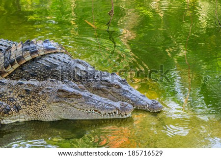 Close up of header crocodile in the water.