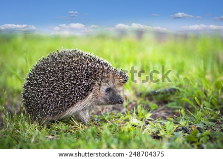 Close up of hedgehog in green grass on blue sky with fluffy clouds