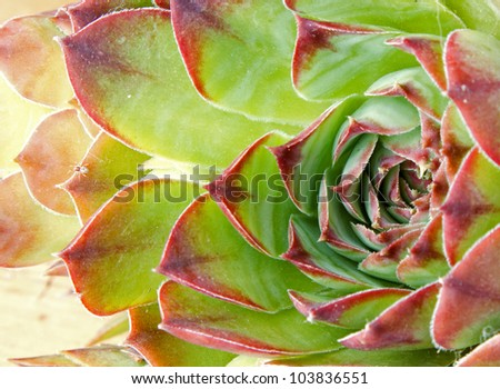 Close up of hen and chick or crassulaceae succulent flower