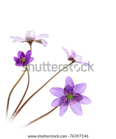Close up of hepatica (liverwort) flower - stock photo