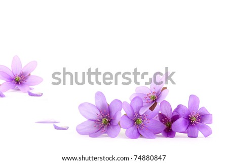 Close-up of hepatica (liverwort) flower on white background, focus on the foreground,  shallow DOF - stock photo